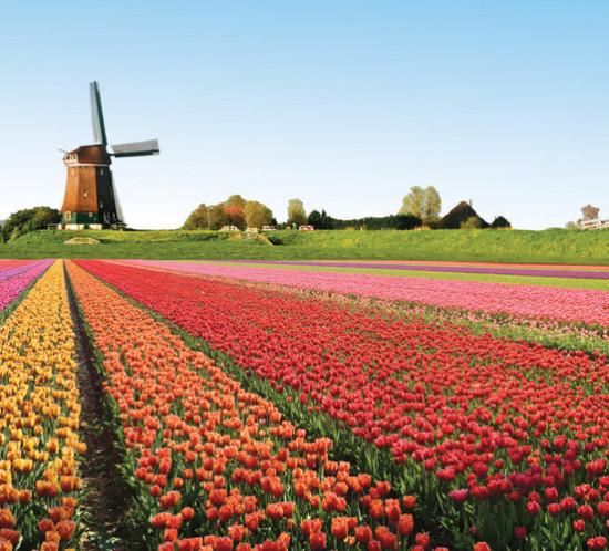 primavera_tulipas